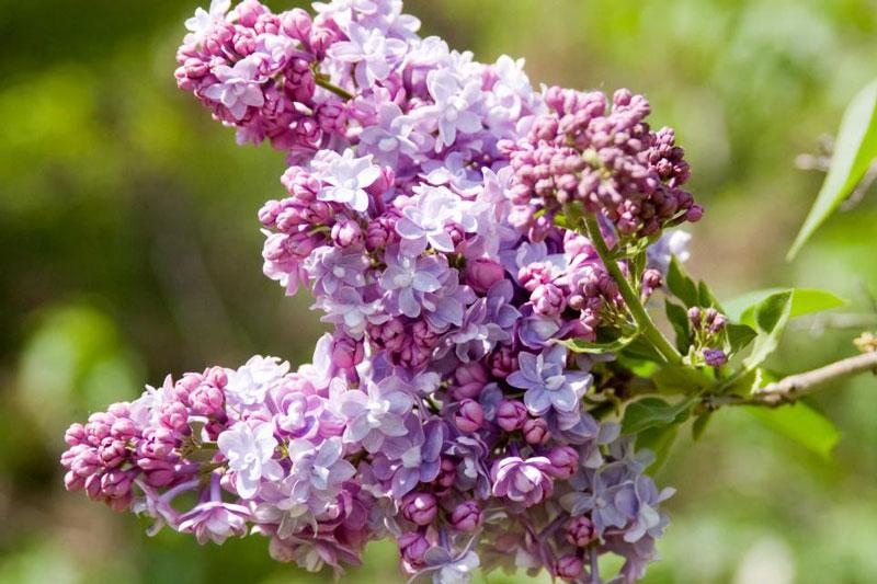 Chi tử đinh hương (chi đinh hương) có tên khoa học là Syringa. Đây là loài thực vật có hoa thuộc họ Ô liu, có nguồn gốc ở châu Âu và châu Á.