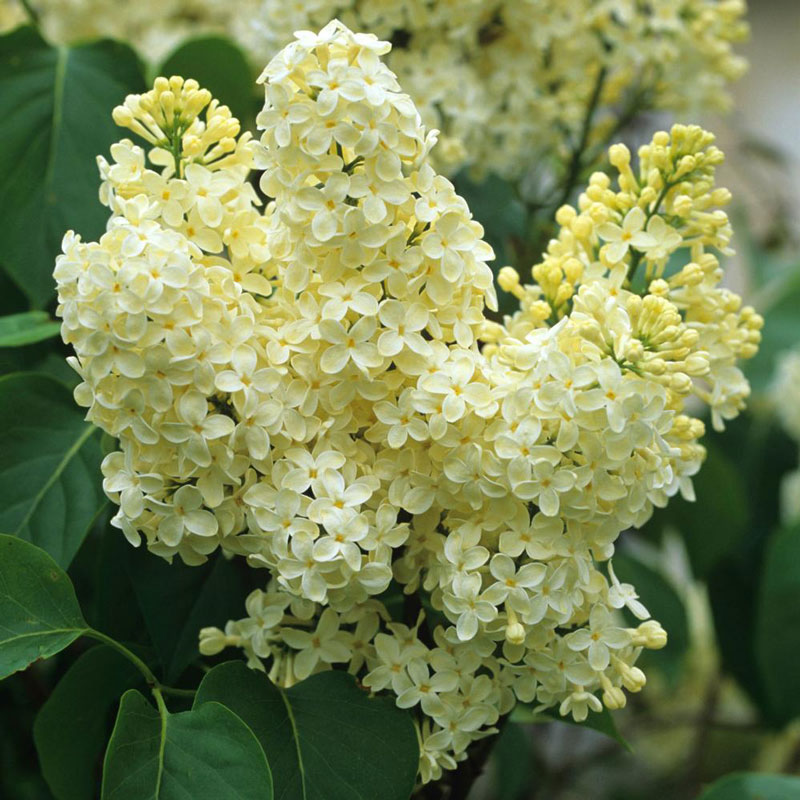 Hoa đinh hương màu tía (tím) tượng trưng cho tình yêu đầu tiên còn hoa đinh hương trắng tượng trưng cho sự ngây thơ trong trắng.