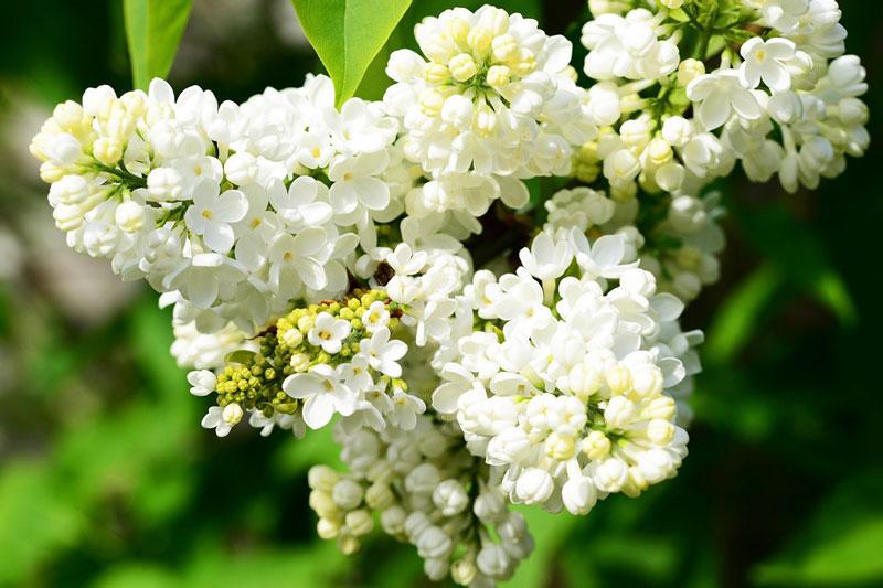 """Đối với nhiều người, tử đinh hương là bông hoa của xui rủi và bệnh tật, có lẽ người ta liên tưởng tới màu tím u buồn của nó. Ngạn ngữ cổ có câu: """"Cô gái nào cầm hoa tử đinh hương sẽ không bao giờ được mang nhẫn cưới""""."""