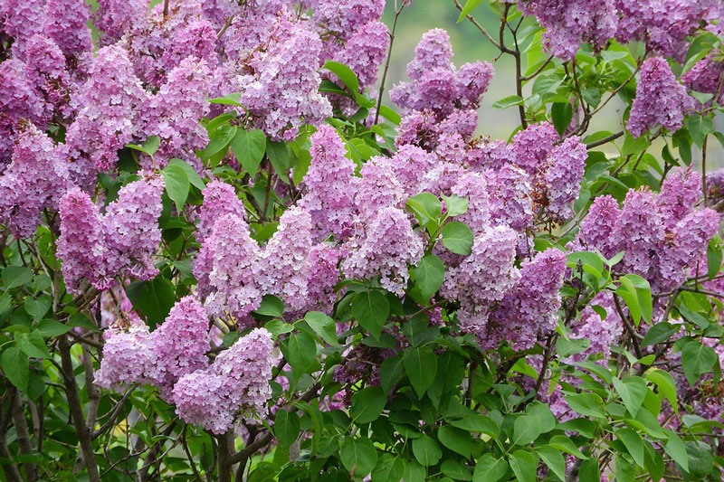 Hoa mọc thành các chùy hoa lớn, và ở một số loài có mùi thơm khá mạnh. Ở vùng ôn đới, hoa bắt đầu nở sau khoảng 80 - 110 ngày kể từ ngày có nhiệt độ trung bình là 10 độ C.