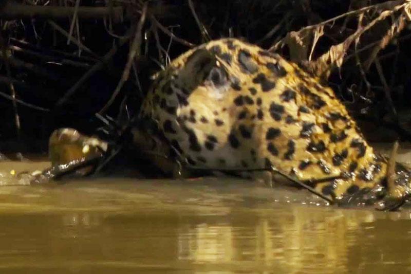 Báo đốm vật lộn với cá sấu dưới sông.