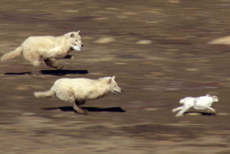 Hai con sói truy sát thỏ.