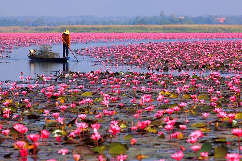 Các loài cây này sống lâu năm, mọc hoang dại trong ao, mương, kênh, rạch, láng nước, bàu trũng khắp mọi khu vực của Việt Nam.