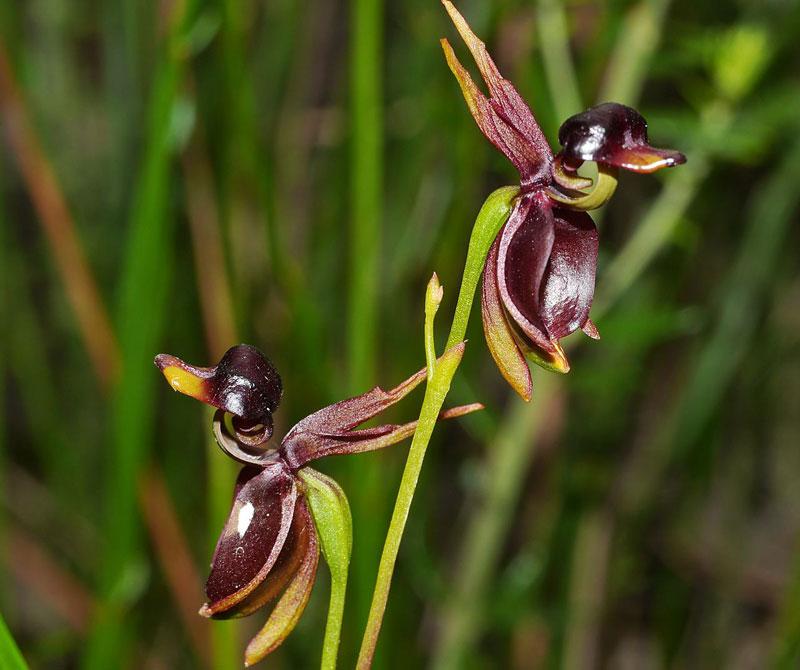 Loài này được R.Br. mô tả khoa học đầu tiên năm 1810.