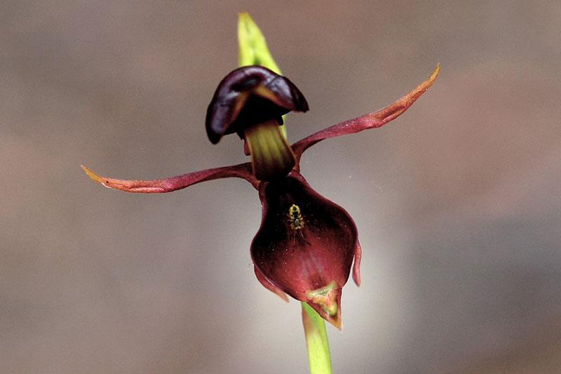 Tuổi thọ của cây từ 1 - 2 năm, mỗi gốc ra hoa chỉ một hoặc hai năm rồi cây dần yếu đi và chết.