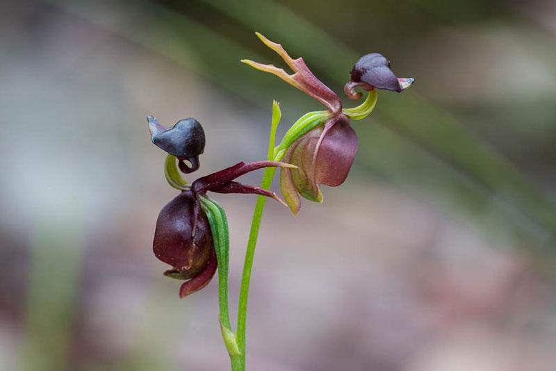 Hoa lan vịt bay chủ yếu sống trong rừng bạch đàn ven biển và vùng đầm lầy, cây bụi.