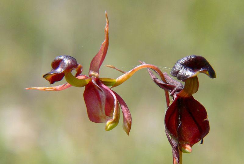 Loại lan này được tìm thấy ở miền Đông và miền Nam Australia.