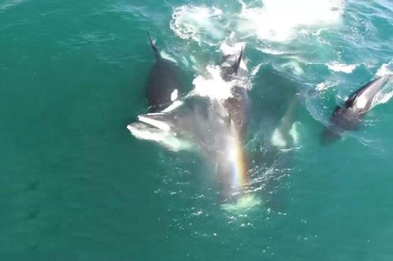 Bầy cá voi sát thủ đoạt mạng cá voi minke.