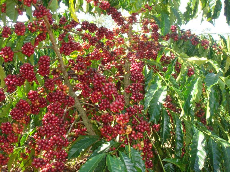 Cây cà phê chín đỏ rực chính là điểm đặc trưng của Đắk Lắk. Ảnh: Điền Kim Trang.