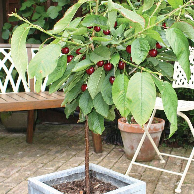 Cây cherry bắt đầu bước vào tuổi thu hoạch. Ảnh minh họa.