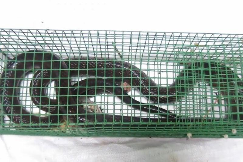 Con rắn hổ trâu được bẫy bằng mồi cóc.