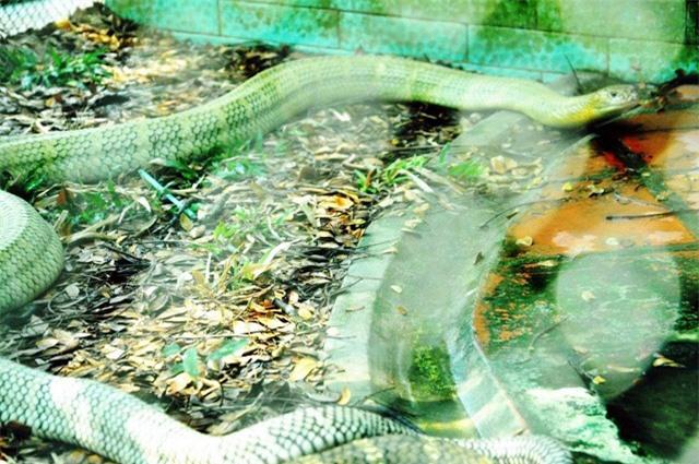 """Hổ mang chúa """"khủng"""" 17 năm tuổi tại """"vương quốc rắn"""" của Việt Nam - 1"""