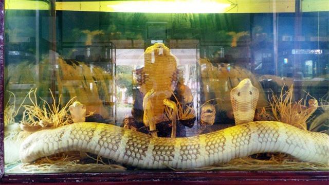 """Hổ mang chúa """"khủng"""" 17 năm tuổi tại """"vương quốc rắn"""" của Việt Nam - 8"""