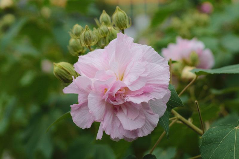 Hoa phù dung có tên khoa học là Hibiscus mutabilis.