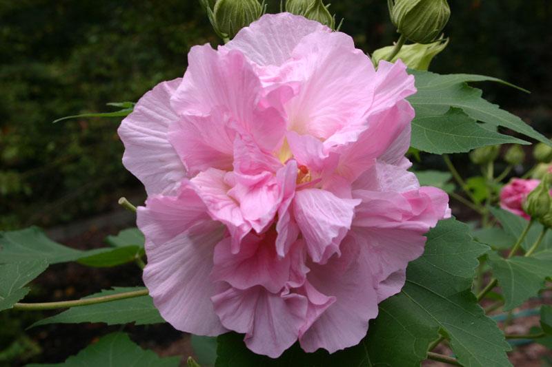 Do loài hoa này có đặc điểm là sớm nở tối tàn nên người ta ví như những cô nàng xinh đẹp nhưng đỏng đảnh, dễ thay lòng đổi dạ hay là sự thay đổi khó lường.