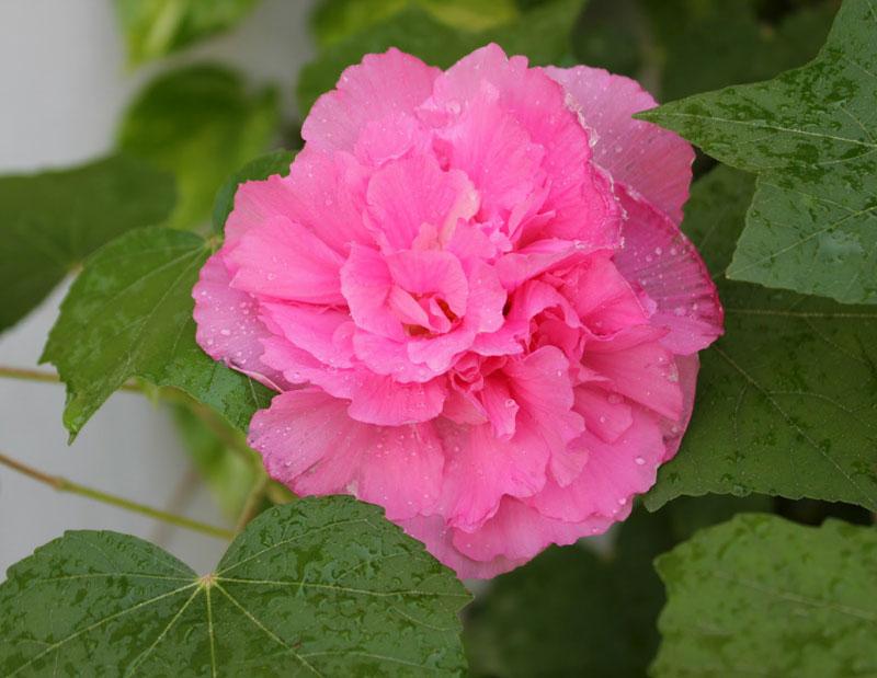 Ngoài ra, nó còn tượng trưng cho người con gái hồng nhan bạc phận.