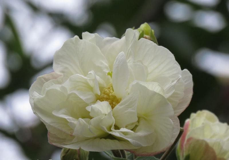 Cận cảnh vẻ đẹp của hoa phù dung.
