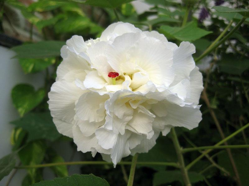 Đây là loài thực vật có hoa thân nhỡ thuộc họ Cẩm quỳ (Malvaceae).