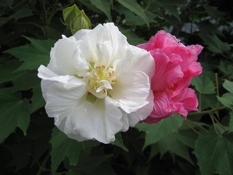Hoa lớn, có hai loại: Hoa đơn (có 5 cánh), hoa kép (có nhiều cánh); hoa nở xoè to bằng cái bát, chất cánh xốp, trông như hoa giấy.