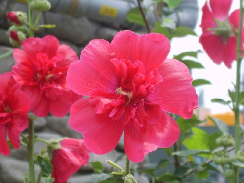 Hoa phù dung thay đổi màu sắc từ sáng đến chiều (sáng trắng, trưa hồng, chiều đỏ) vì trong cánh hoa có chất anthoxyan bị oxi hoá dần khi tiếp xúc với không khí, kích thước hoa 10 - 15cm.