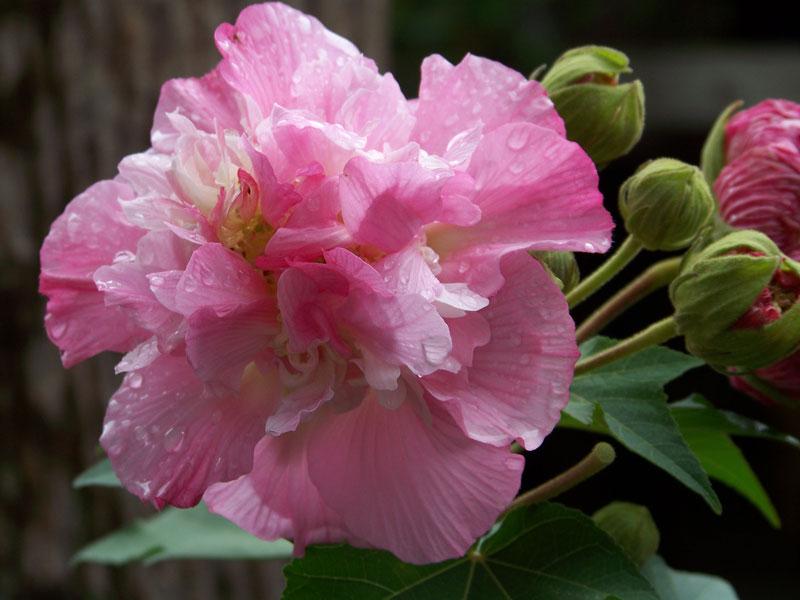 Cây được trồng ở Trung Quốc, Ấn Độ, Philippin, Nhật Bản, Mỹ.