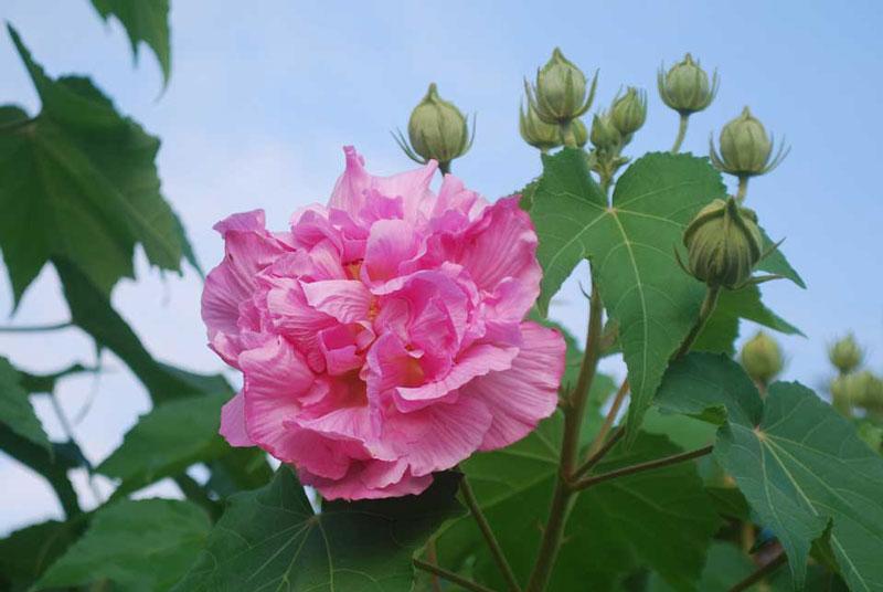 Ở Việt Nam, được trồng để làm cảnh. Lá và hoa tươi được giã, đắp lên mụn nhọt đang mưng mủ để hút mủ và làm giảm đau nhức. Vỏ cây có sợi trắng mềm, có thể dùng bện thừng hoặc làm giấy.