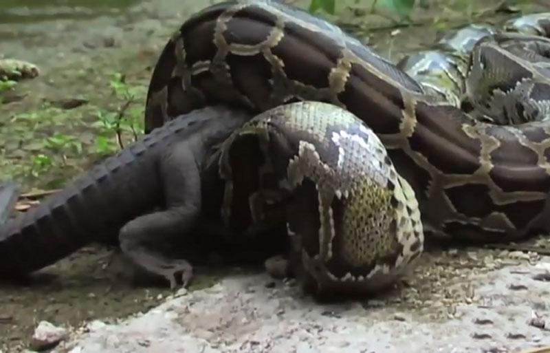 Trăn khổng lồ ác chiến với cá sấu.