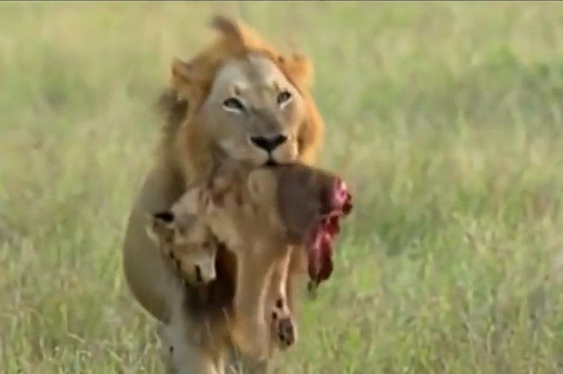 Sư tử xé xác con non.