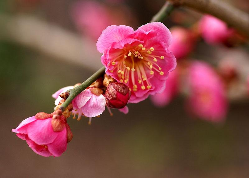 Hoa mơ được yêu quý và tôn vinh ở Trung Quốc và Đông Á (Việt Nam, Nhật Bản và Hàn Quốc) nói chung.