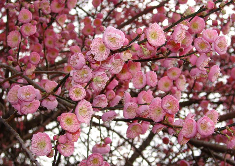 Hoa mơ có tên khoa học là Prunus mume. Đây là loài thuộc chi Mận mơ (Prunus) có nguồn gốc châu Á, thuộc họ Hoa hồng (Rosaceae).