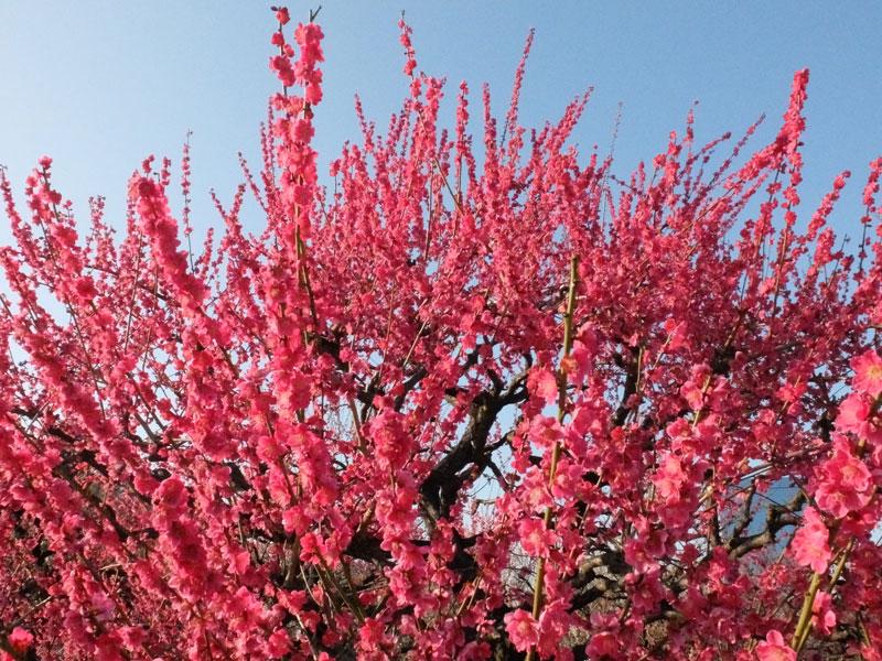 Hoa mơ là biểu tượng của mùa Đông, hoặc là tín hiệu sớm để báo hiệu mùa Xuân. Hoa mơ có một đặc tính nổi bật là nở vào cuối Đông, gần như sớm nhất trong các loại hoa, giữa thời tiết giá lạnh, có thể có băng giá hay tuyết rơi.