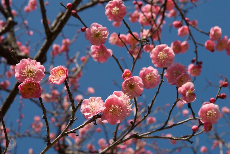 Hoa mơ cũng được đánh giá cao bởi dáng cây khẳng khiu nhưng cứng cáp, mùi hương nhẹ nhàng và vẻ đẹp của hoa, đặc biệt mơ hoa màu trắng được coi như biểu tượng của sự tao nhã, thanh khiết.