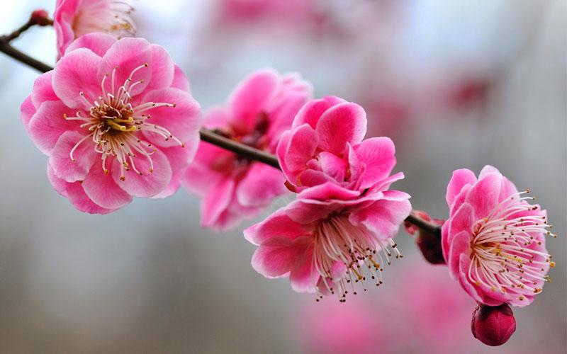 Mơ thường ra hoa vào cuối mùa Đông-đầu mùa Xuân, thông thường là cuối tháng 1 hay đầu tháng 2 ở khu vực Đông Á, trước khi ra lá.