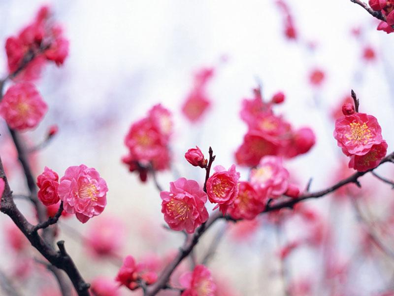 Ở Việt Nam, mơ mọc nhiều ở vùng Tây Bắc (Sơn La, Điện Biên, Lai Châu, Lào Cai) và vùng rừng núi quanh chùa Hương Tích (Mỹ Đức, Hà Nội).