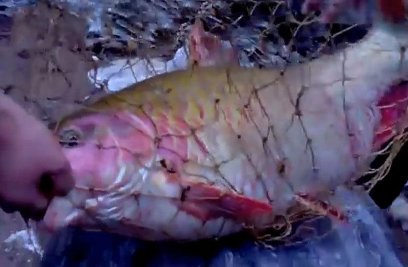 Cá bỗng khổng lồ.