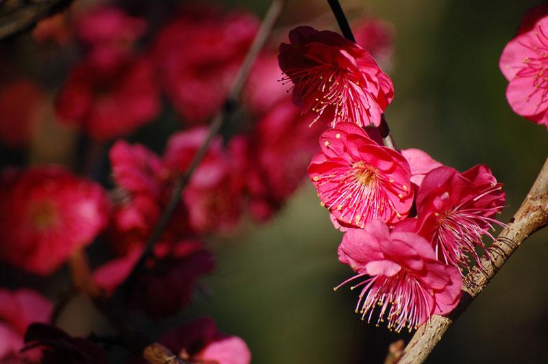 Loài cây này có nguồn gốc từ miền Nam Trung Quốc (lưu vực sông Dương Tử), sau này lan sang Nhật Bản, Triều Tiên và Việt Nam.