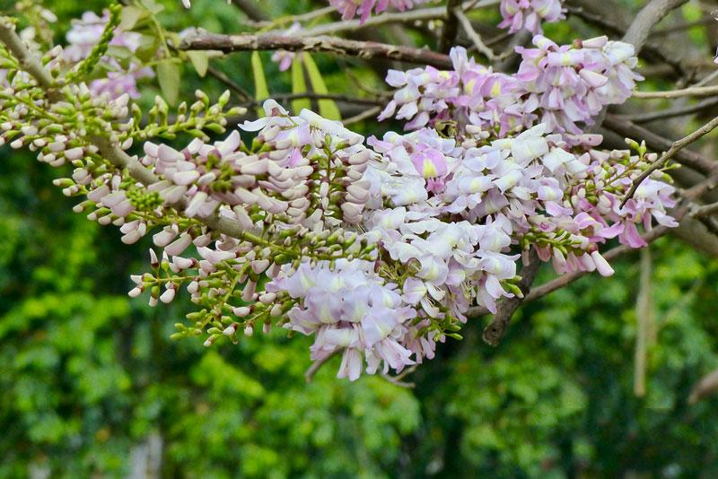 Hoa đào đậu có nguồn gốc từ rừng tự nhiên châu Mỹ.