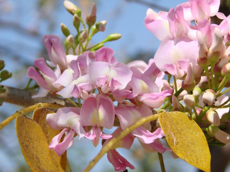 Hoa đào đậu thường có màu hồng phớt, trắng, hồng thắm…