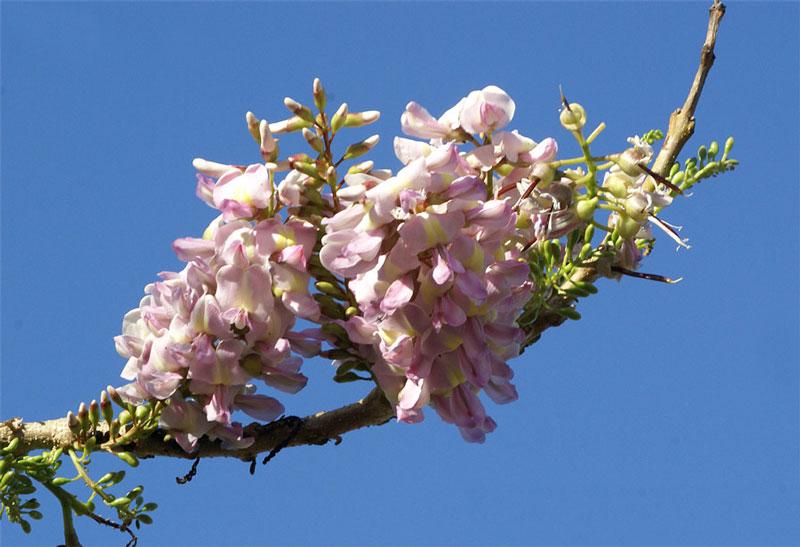 Hoa đỗ mai thường nở vào tháng 1 - 2 (tùy theo vùng).