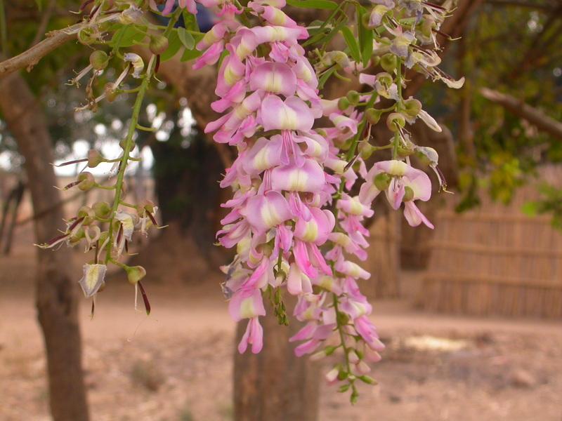 Trước khi ra hoa cây rụng trụi lá và nở hoa trước khi ra lá non. Hoa tuy mau tàn nhưng sai hoa nên rất đẹp, nở rộ vào mùa Xuân thường đúng dịp Tết nên có thể cắt cành cắm bình lớn chơi tết thay cho mai, đào.