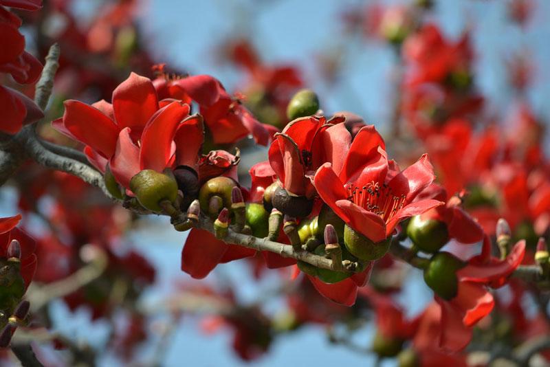 Hiện nay, nó được trồng rộng rãi ở các bang của Malaysia, Indonesia, miền Nam Trung Quốc, Hồng Kông, Đài Loan và Việt Nam.
