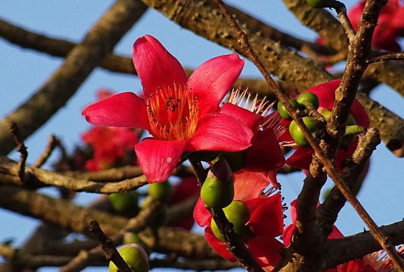 Các bộ phận của cây như hoa, vỏ thân và rễ đều có thể dùng làm thuốc chữa bệnh.