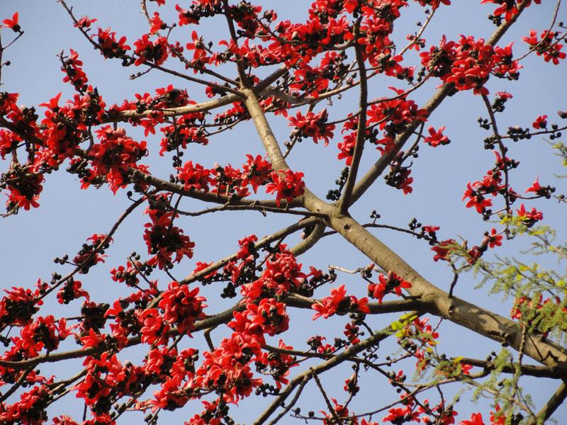 Các sợi bông của nó cũng được dùng như là vật thay thế cho sợi bông của cây bông. Hoa của nó được dùng trong một số loại trà thuốc của người Trung Quốc.
