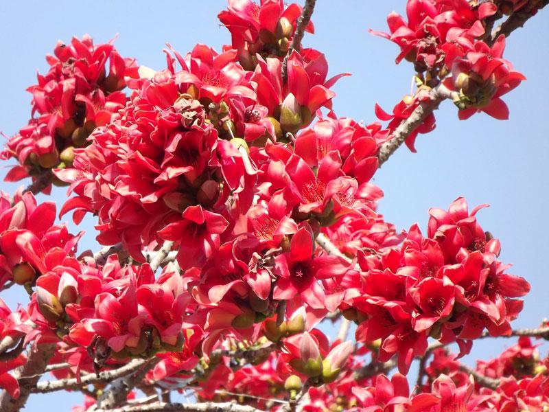 Hoa thường có 5 cánh, màu đỏ, nở vào mùa Xuân trước khi cây ra lá non.