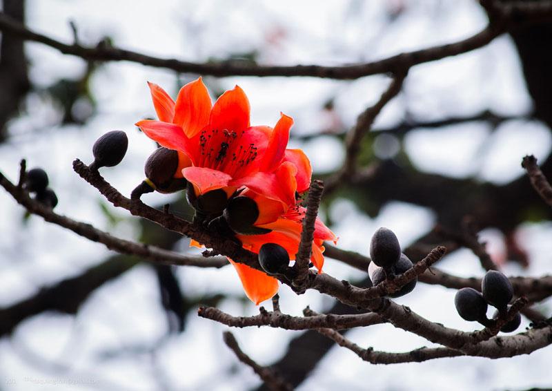 Tại Trung Quốc, hoa của cây mộc miên là hoa biểu trưng cho Quảng Châu và Cao Hùng (Đài Loan).