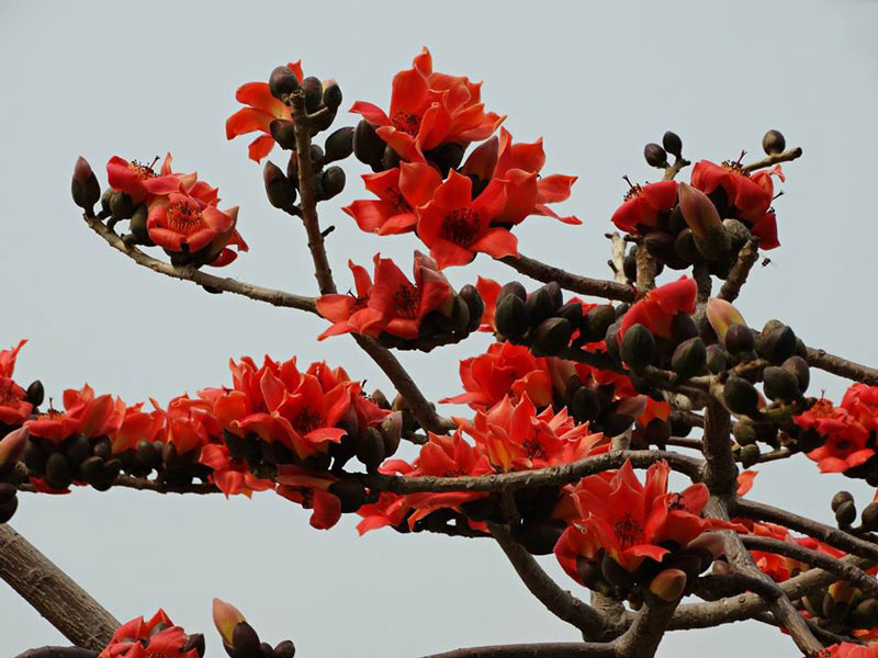 Cây gạo là loài cây ở vùng nhiệt đới với thân cây cao và thẳng với lá rụng vào mùa Đông.