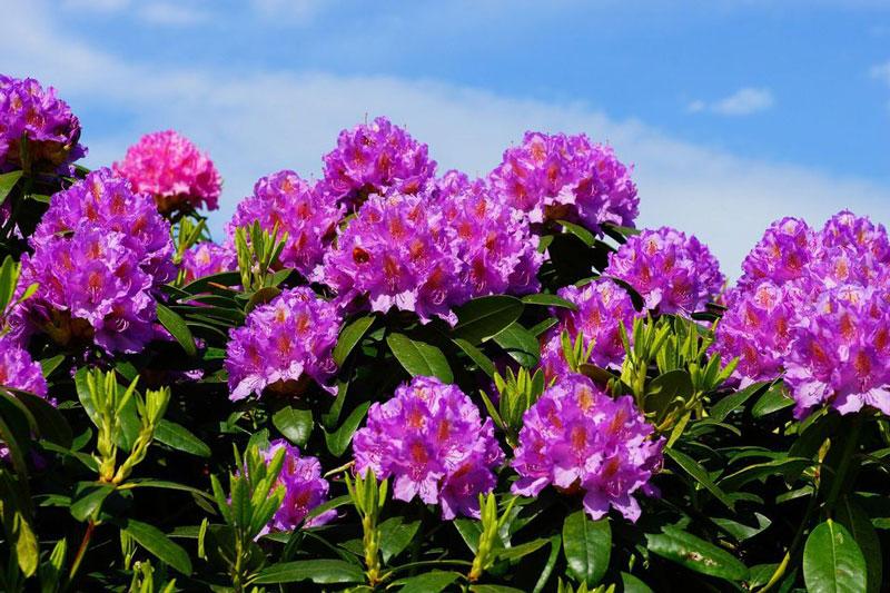 Ngoài ra, có rất nhiều loài đỗ quyên nhiệt đới gốc Đông Nam Á và Bắc Australia.
