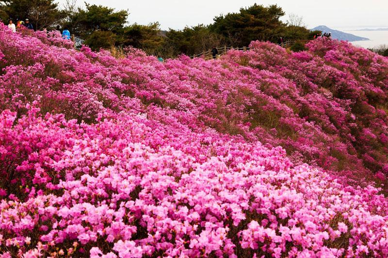 Ở Việt Nam chỉ có vùng núi Sa Pa (tỉnh Lào Cai), Bạch Mã (tỉnh Thừa Thiên Huế), Tam Đảo (tỉnh Vĩnh Phúc), Đà Lạt (tỉnh Lâm Đồng) là những nơi có cây hoa đỗ quyên mọc tự nhiên. Riêng trong vườn quốc gia Hoàng Liên đã có tới 30 loài hoa đỗ quyên được phát hiện.