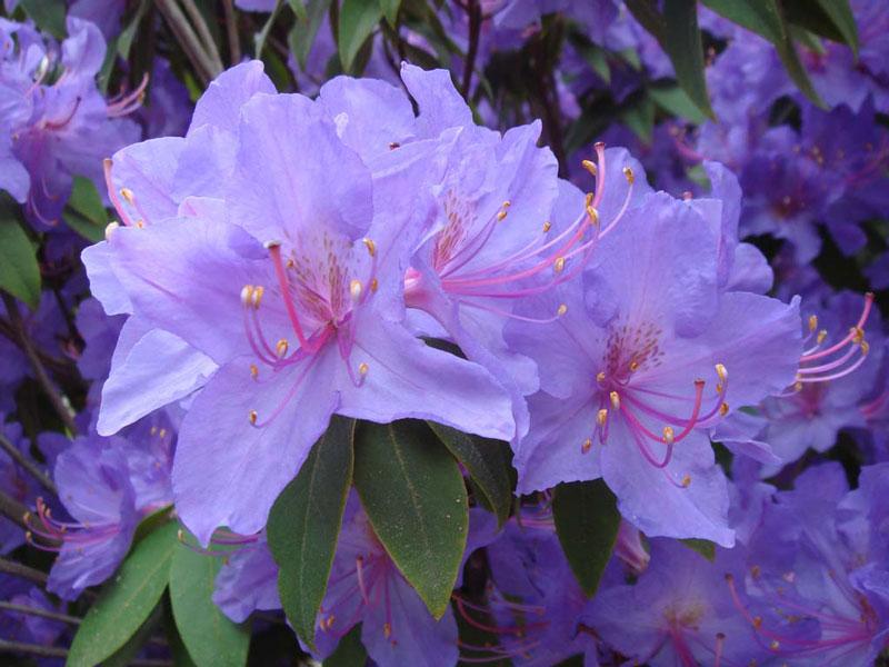 Đây là chi thực vật có hoa thuộc họ Thạch nam (Ericaceae) với khoảng 850 - 1.000 loài.