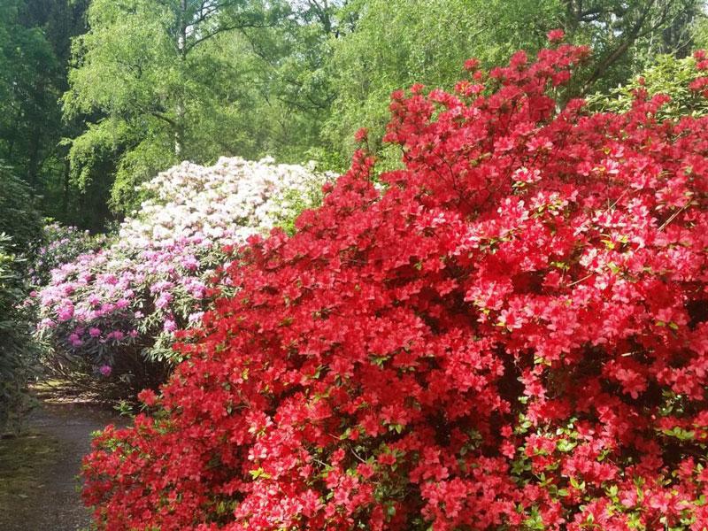 Một số loài đỗ quyên nổi tiếng vì hoa nở thành chùm lớn. Có các loài vùng núi có hoa và lá nhỏ, và một số loài nhiệt đới sống bám ở dạng tầm gửi.